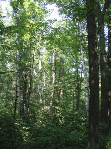 Birches and Oaks 2