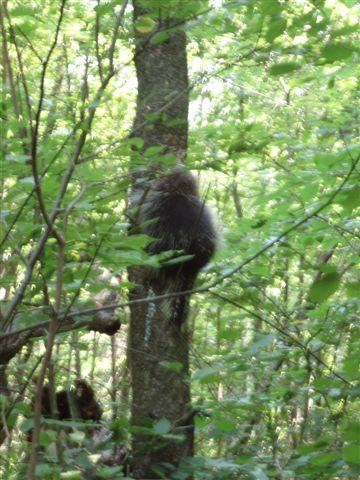 Porcupine climbing tree 2