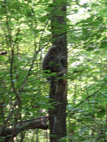 Porcupine climbing tree 3