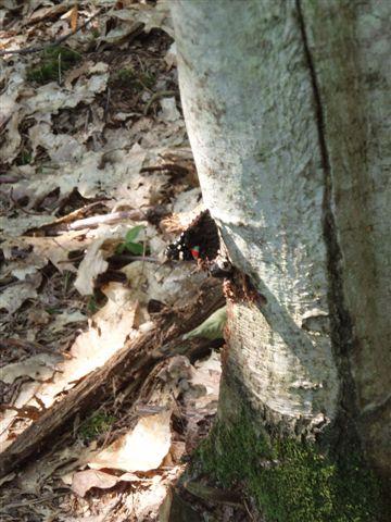 Butterfly on Oak tree 3