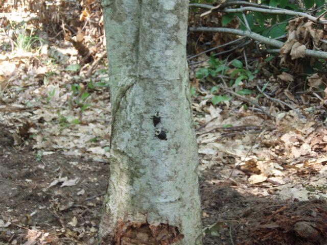 Bugs on Oak