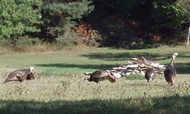 Wild Turkeys 1