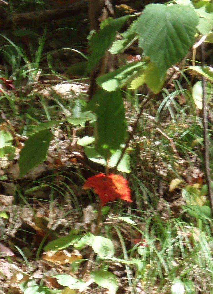 In The Forest - a Maple Leaf!