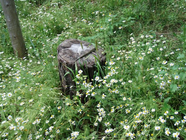 Star Stump and flowers