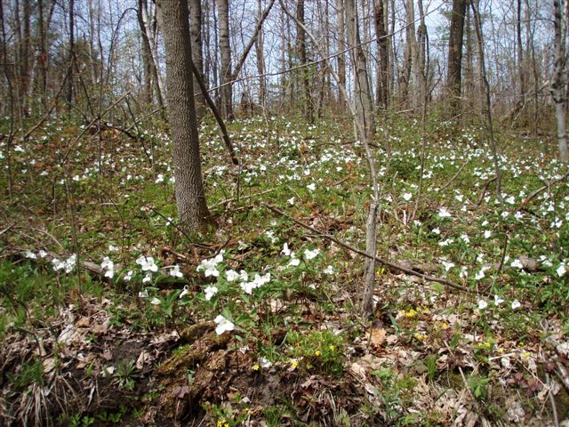 Forest Woodhenge - Trilliums