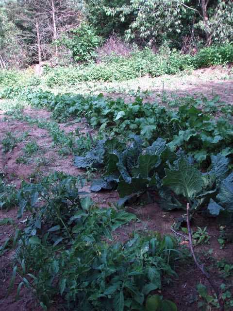 Potatoes, Cabbage and Turnip