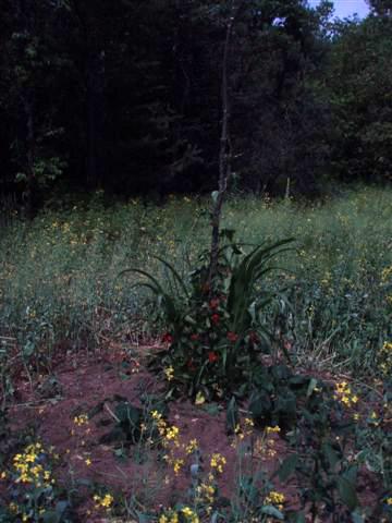 Garden Mound -Corn-Beans-Squash