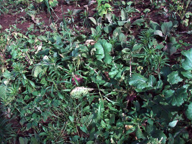 More Turnips