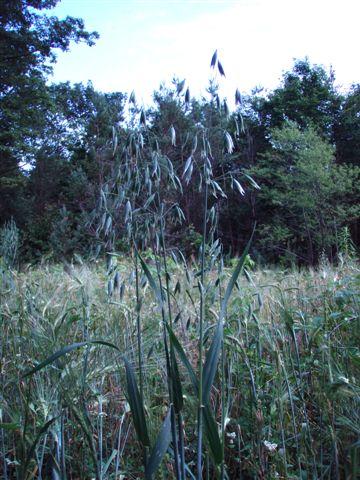 Grain in the field!!