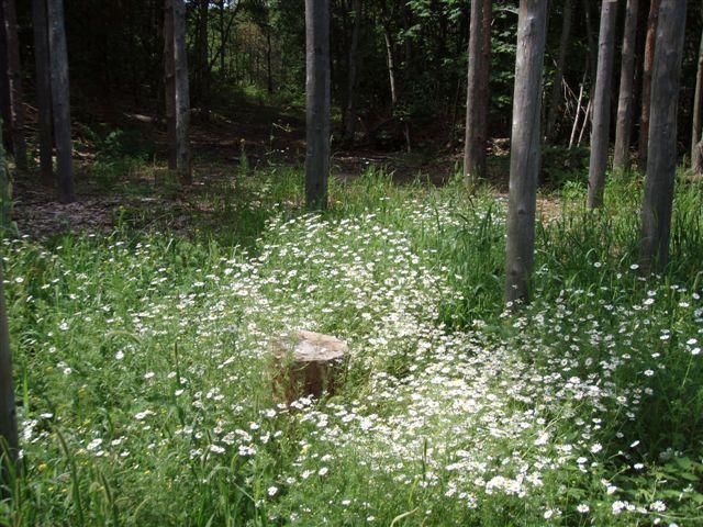 Midsummer Star Stump