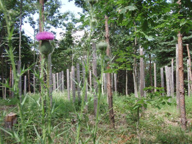 Forest Woodhenge - Midsummer