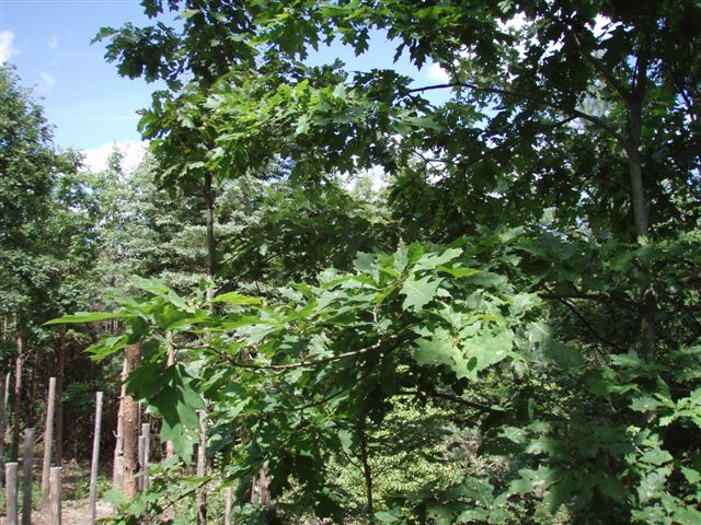 Forest Woodhenge - Midsummer (3)