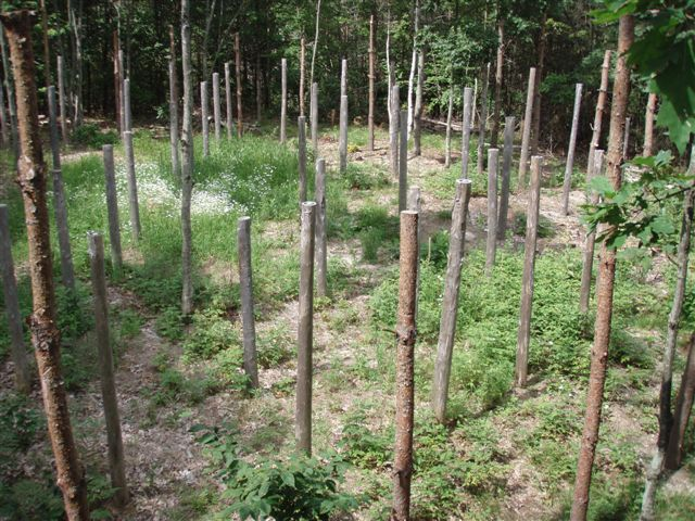 Forest Woodhenge - Midsummer (6)
