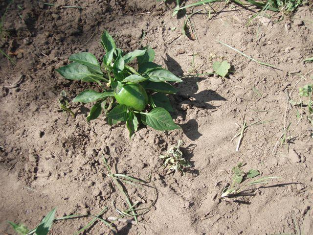 Garden - One Green Pepper