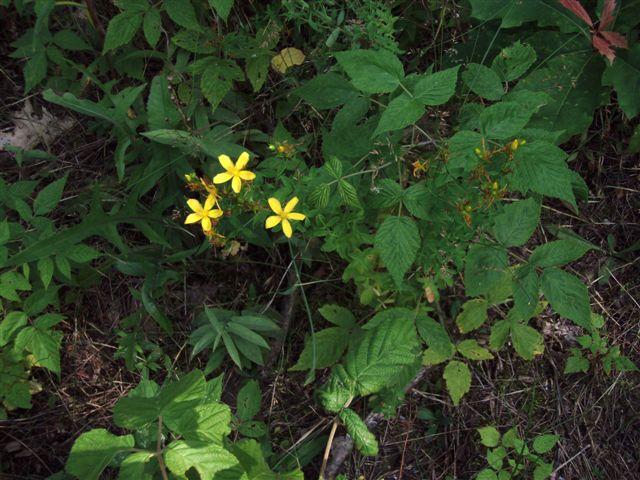 Midsummer Flowers (2)