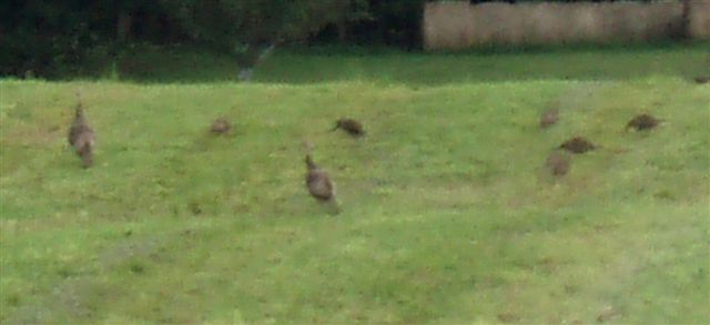 Midsummer - Wild Turkeys! (2)