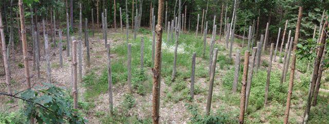 Forest Woodhenge - Midsummer!!