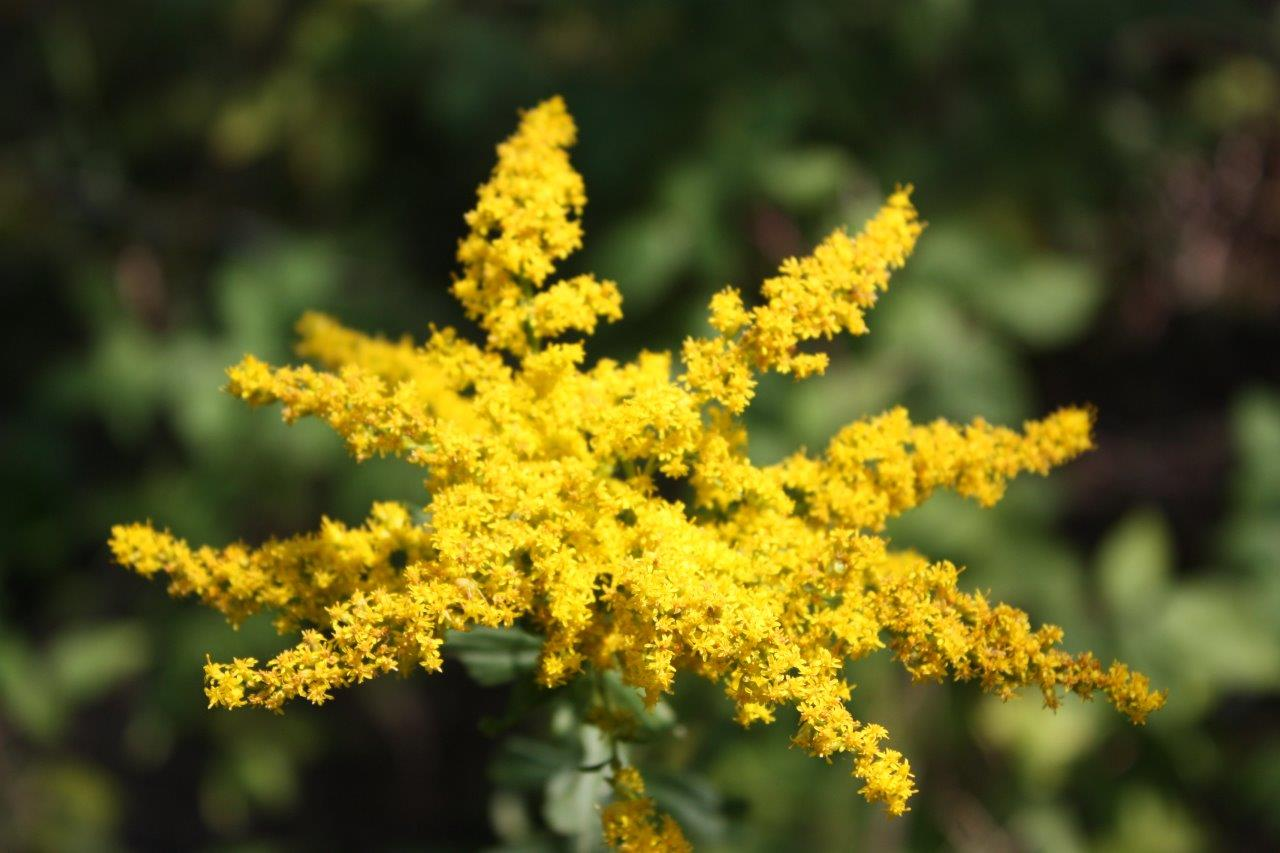 Woodhenge flowers (2) Goldenrod