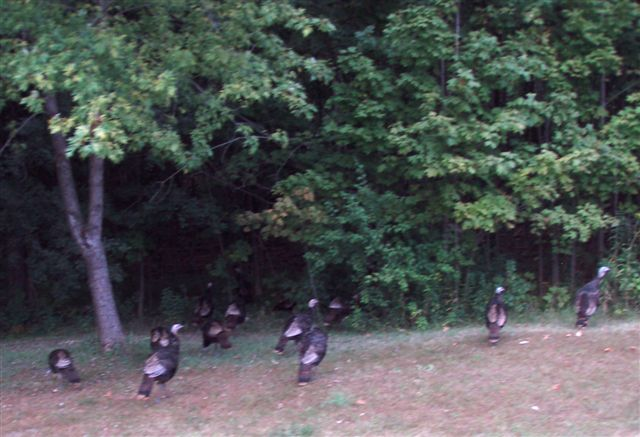 Wild Turkeys by the Roadside near Forest Woodhenge
