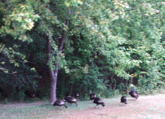 Wild Turkeys by the Roadside near Forest Woodhenge!