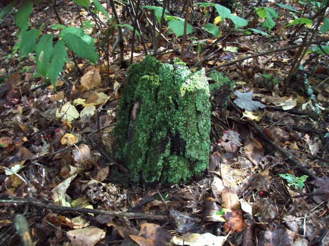 Forest Wonders: Moss Covered Stump (6)