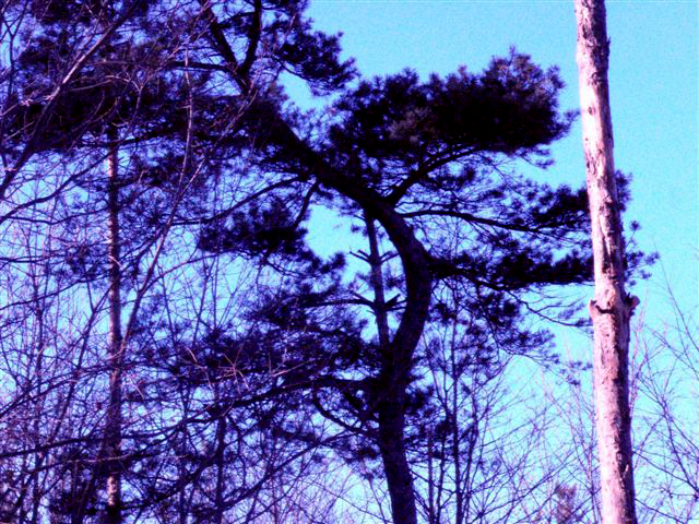 The Curved Pine!