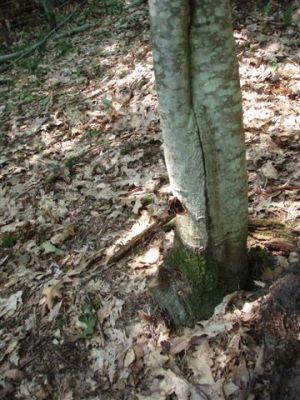 Butterfly on Oak tree 2