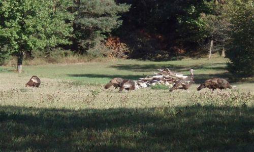Wild Turkeys 2
