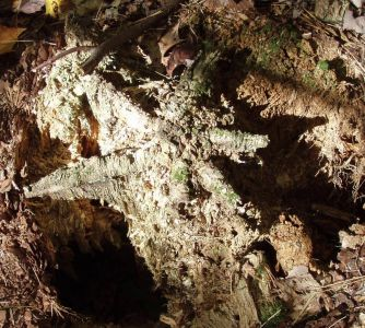 In The Forest - a Rotted Tree Stump