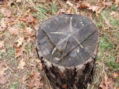 Forest Woodhenge - Scorpio - Star Stump