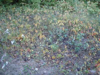 Poison Ivy Changing Colour with the Season!
