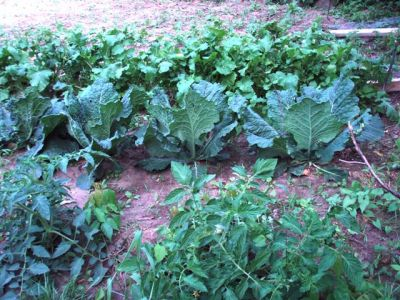 Potatoes, Cabbages, Turnips