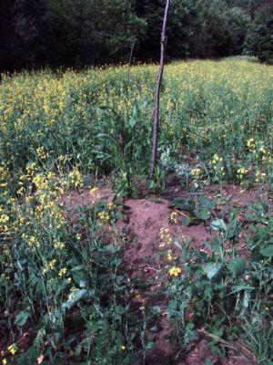 Garden Mound - Corn, Beans + Squash