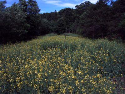 The Canola Field