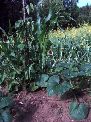 Garden Mound -Corn-Beans-Squash!!