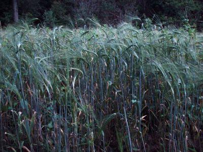 Grain in the field!