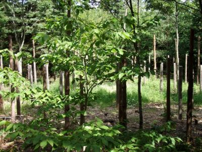 Forest Woodhenge - Midsummer (10)