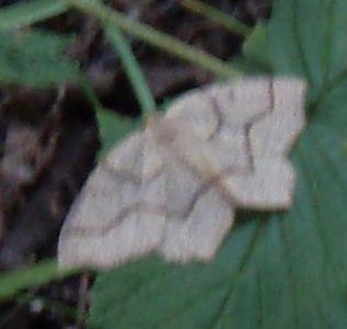 White Moth!