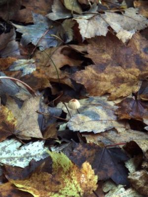 Forest Wonders:Little Mushroom in the Leaves
