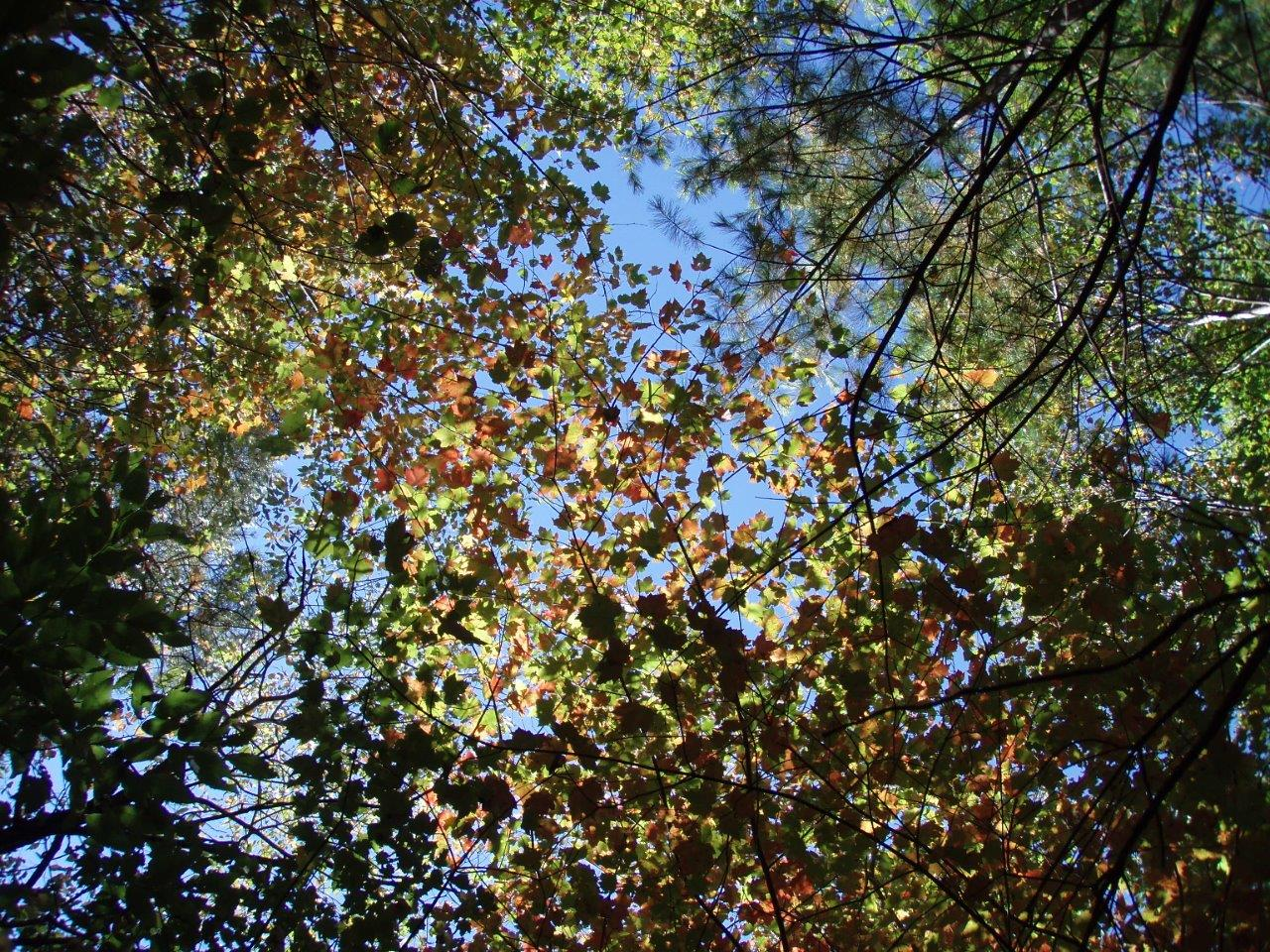 In The Forest - A Canopy Above