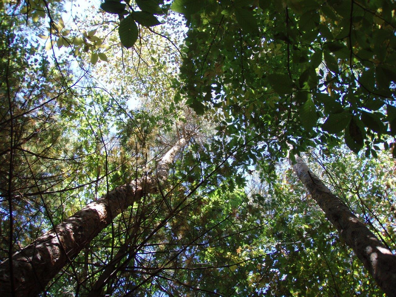 In The Forest - A Canopy Above 2