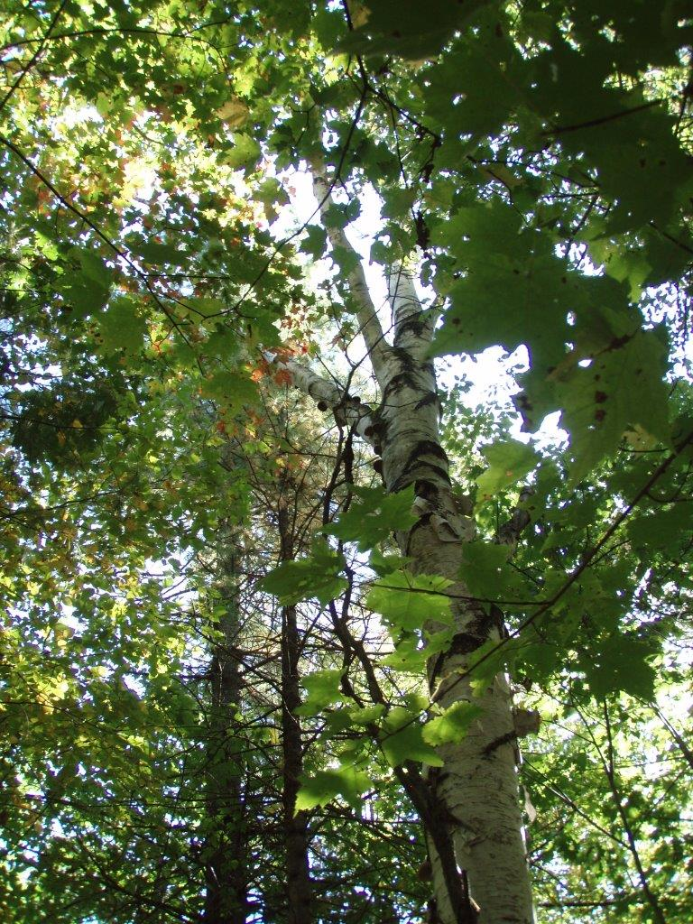 In the Forest - a Tall Birch 2