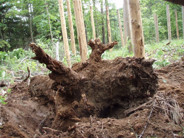 Forest Woodhenge - the big stump out of the ground!