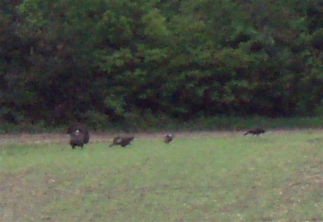 Wild Turkeys - Mating Season (1)