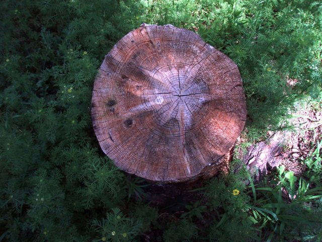 Forest Woodhenge Star Stump