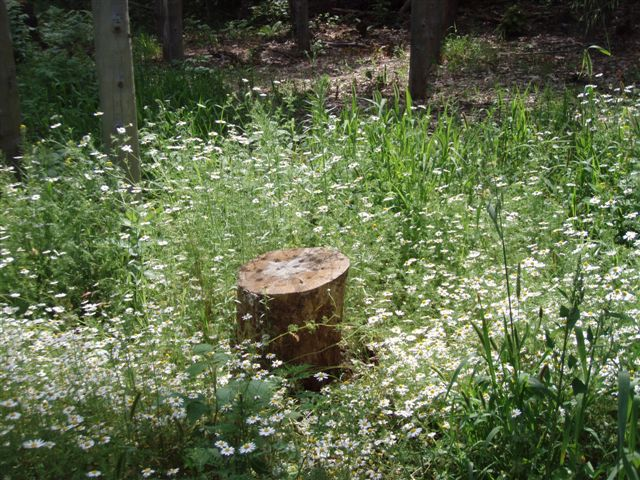 Midsummer - Star Stump!