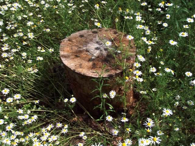 Midsummer Star Stump
