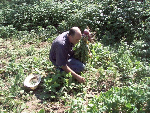 Woodhenge Garden - Picking Turnips!