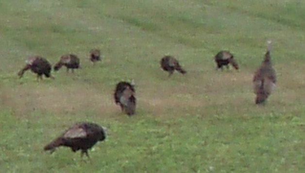 Wild Turkeys (1)