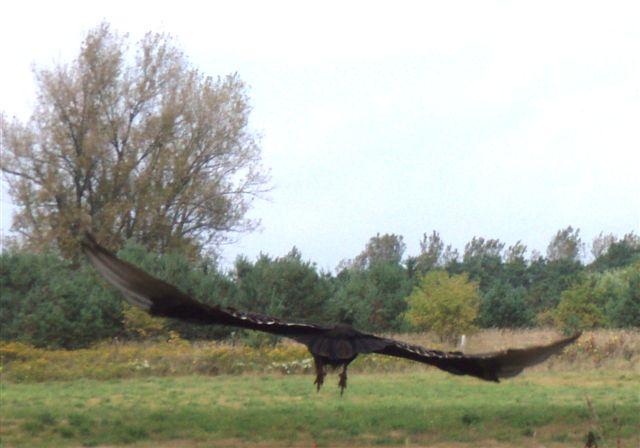Turkey Vulture!